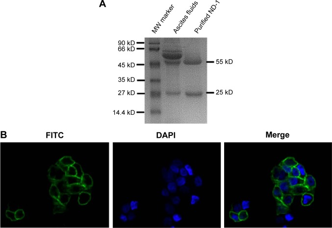 Purity analysis and immunological activity assay of purified ND-1. Notes: ( A ) ND-1 was purified from mouse ascites fluids and subjected to SDS-PAGE analysis. ( B ) Immunological activity of purified ND-1 was assayed by immunofluorescence technology. CL187 cells were first incubated with ND-1, followed by FITC-labeled goat antimouse IgG. The nuclei were stained with DAPI. (Magnification, ×600.) Abbreviations: MW, molecular weight; kD, kilodalton; FITC, fluorescein isothiocyanate; DAPI, 4,6-diamidino-2-phenylindole dihydrochloride; SDS-PAGE, sodium dodecyl sulfate polyacrylamide gel electrophoresis.