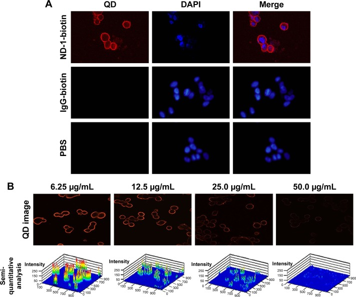 Specificity analysis of ND-1-conjugated QD probes. Notes: ( A ) Immunofluorescence analysis of the QD probes specificity. LEA-expressing CL187 cells were labeled with ND-1-biotin and QD605-SA sequentially, and IgG-biotin and PBS were used as controls. ( B ) Specific competitive assay. Before incubation with ND-1-biotin and QD605-SA, CL187 cells were treated with increasing concentrations of nonbiotinylated ND-1 (6.25, 12.5, 25.0, and 50.0 μg/mL) for competitive binding. The fluorescence images were taken (upper row) and changes in intensity were quantified with LSM510 software (Carl Zeiss Meditec AG, Jena, Germany; bottom row). (Magnification, ×400.) Abbreviations: LEA, large external antigen; QD, quantum dot; QD605-SA, quantum dot-conjugated streptavidin with a 605 nm emission wavelength; DAPI, 4,6-diamidino-2-phenylindole dihydrochloride; PBS, phosphate-buffered saline.