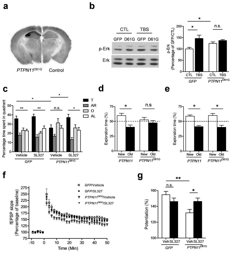 PTPN11 D61G overexpression induces learning and memory and LTP deficits that can be reversed by MEK inhibition a. AAV– PTPN11 D61G infection results in overexpression of SHP2 D61G . Anti–SHP2 immunohistochemistry shows robust overexpression of SHP2 in the hippocampus of AAV– PTPN11 D61G –infused brains (left) compared with AAV– GFP infused brains (right). Full-length blots/gels are presented in Supplementary Figure 11 . b. PTPN11 D61G overexpression increases basal Erk activity (phospho–Erk level) and prevents further Erk activation in response to TBS. Left , Representative immunoblot showing p–Erk (upper) and total Erk (lower) in PTPN11 D61G –expressing slices and GFP –expressing slices. Slices were prepared 1 h after TBS. Right , Bar graph displays normalized p–Erk levels (mean ± s.e.m.). CTL, control without TBS. c. MEK inhibitor SL327 reverses spatial memory deficits in PTPN11 D61G –overexpressing mice in the Morris water maze. Quadrant occupancy analysis for the probe trial reveals that PTPN11 D61G /veh mice showed no preference for the target quadrant (target vs. other quadrants, Dunnett's Multiple Comparison Test after one-way ANOVA, P > 0.05). PTPN11 D61G /veh mice also spent significantly less time in the target quadrant compared with GFP /veh mice. SL327 treatment significantly increased the time spent in the target quadrant in PTPN11 D61G -expressing mice compared with vehicle-treated PTPN11 D61G mice ( PTPN11 D61G /SL327, 37.25 ± 3.50 %, n=10, unpaired two-tailed t-test, t = 2.335, * P
