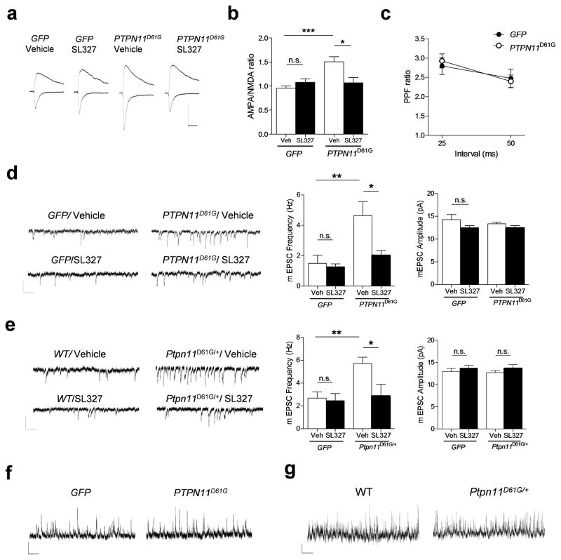 PTPN11 D61G overexpression enhances excitatory synaptic function through increased Ras-Erk signaling a. AMPA receptor-mediated currents were measured at the peak of the currents at − 65 mV, and NMDA currents were measured 50 ms after onset at + 40 mV. The average of 15 traces is shown. Scale, 100 pA and 40 ms. b. Group data showing the increased AMPA:NMDA current ratio in AAV– PTPN11 D61G mice compared with AAV- GFP mice. SL327 treatment (1 μM, 1 h) significantly reversed the AMPA:NMDA current ratio in the PTPN11 D61G group without affecting GFP –expressing mice. Two-way ANOVA, interaction between viral treatment and drug, F 1, 31 = 10.53, ** P