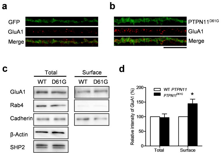 PTPN11 D61G overexpression increases surface AMPA receptor expression a. and b. Representative images of surface GluA1 staining in cultured neurons. GFP alone (a) or PTPN11 D61G and GFP (b) were co–expressed using a bicistronic Sindbis viral vector in cultured hippocampal neurons (DIV21). Scale, 20μm. c. Representative images of western blotting of total and <t>biotinylated</t> surface proteins. Cadherin and Rab-4 were used as markers for surface and cytosol expression, respectively. Full-length blots/gels are presented in Supplementary Figure 11 . d. Surface expression of GluA1 was significantly increased in PTPN11 D61G expressing neurons compared to WT PTPN11 expressing neurons, while the total expression level of GluA1 did not differ between WT PTPN11 and PTPN11 D61G transfected neurons.