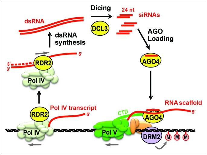 Biogenesis of 24 nt siRNAs and their role in RNA-directed DNA methylation. A simplified cartoon of the RNA-directed DNA methylation pathway. Polymerase (Pol) IV and RNA-dependent RNA polymerase (RDR2) physically associate and are required for the synthesis of double-stranded RNAs (dsRNA) that are diced by DICER-like 3 (DCL3) into 24 nt siRNA duplexes. Upon loading into Argonaute 4 (AGO4), the siRNA-AGO4 complex finds its target sites by binding to Pol V transcripts and by interacting with the C-terminal domain (CTD) of the Pol V largest subunit. The cytosine methyltransferase DRM2 is ultimately recruited to Pol V-transcribed loci, resulting in de novo cytosine methylation in all sequence contexts (CG, CHG and CHH; where H represents a nucleotide other than G). DOI: http://dx.doi.org/10.7554/eLife.09591.003