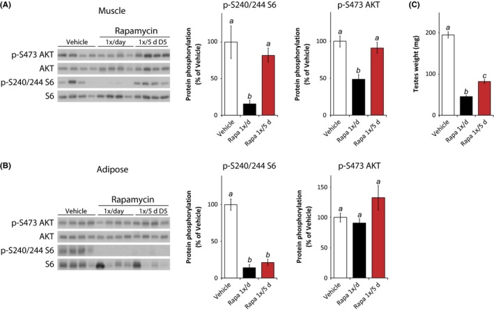 Sustained impact of intermittent rapamycin on adipose m TORC 1 and testes weight. (A) Muscle lysate and (B) adipose tissue lysate were analyzed by Western blotting, and the phosphorylation of S6 240/244 and AKT S473 relative to their respective total protein was quantified. Tissues were collected from mice treated with vehicle or rapamycin (1×/day or 1×/5 days) for 8 weeks, with the tissue collection scheduled such that the intermittent rapamycin treatment group was sacrificed 5 days after the previous rapamycin injection. Mice were fasted overnight and sacrificed following stimulation with 0.75 U/kg insulin for 15 min. Islets were isolated as described prior to tissue collection [ n = 5–9 per treatment, means with the same letter are not significantly different from each other (Tukey–Kramer test following one‐way anova , P
