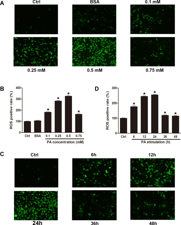Palmitate induced oxidative stress in INS-1 cells. INS-1 cells were treated with control medium, FFA-free BSA (0.5 mol/ml), or indicated concentration of palmitate 24 h or 0.5 mM of palmitate for indicated times. The results showed that palmitate increased the level of ROS in INS-1 cells, which was measured by flow cytometry (B, D) and fluorescence microscopy (A, C). Data are expressed as means ± SEM of 3 independent experiments; * P