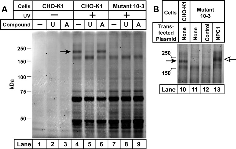 Ultraviolet (UV) crosslinking of U-X to Niemann-Pick C1 (NPC1) in Chinese Hamster Ovary (CHO)-K1 cells, but not in mutant 10–3 cells. On day 0, CHO-K1 cells and 10–3 cells (mutant derivative of CHO-K1 cells that lack NPC1) were set up in a six-well plate in medium A with 5% lipoprotein-deficient serum (LPDS) (2 ml/35-mm well). ( A ) In-gel fluorescence of U-X binding proteins in parental CHO-K1 cells and mutant 10–3 cells that lack NPC1. On day 3, each well of cells received a direct addition of ethanol (final concentration, 0.2%) containing 0.3 µM of U-X crosslinker (lanes 1–9) and one of the following compounds: none (lanes 1, 4, 7); 6 µM U18666A (lanes 2, 5, 8); or 6 µM compound A (lanes 3, 6, 9). After incubation for 1 hr at 37°C, cells in lanes 4–9 were exposed to UV light as described in Materials and methods. Cell extracts were prepared, and the crosslinked U-X was fluorescently tagged using click chemistry. Proteins were then subjected to sodium dodecyl sulfate polyacrylamide gel electrophoresis (SDS-PAGE) followed by in-gel fluorescence scanning. Arrow denotes a 190-kDa protein crosslinked to U-X and competed by U18666A, but not compound A . ( B ) Fluorescent labeling of 190-kDa protein in wild-type (WT) CHO-K1 cells, but not in 10–3 cells lacking NPC1: restoration by expression of NPC1. On day 1, mutant 10–3 cells were transfected with 1 µg/well of either control plasmid (pcDNA3.1; lane 12) or plasmid encoding NPC1 (pCMV-NPC1-Flag-TEV-StrepTactin; lane 13). Nontransfected CHO-K1 and 10–3 cells were set up in parallel (lanes 10 and 11, respectively). On day 3, all cells were incubated with 0.3 µM U-X for 1 hr, after which they were exposed to UV light. Cell extracts were prepared, and the cross-linked U-X was fluorescently tagged using click chemistry, followed by SDS-PAGE and in-gel fluorescence as in Panel A. Closed arrow denotes a 190-kDa protein crosslinked to U-X ; open arrow shows the appearance of a similar band in transfected 10–3 cells expressing e