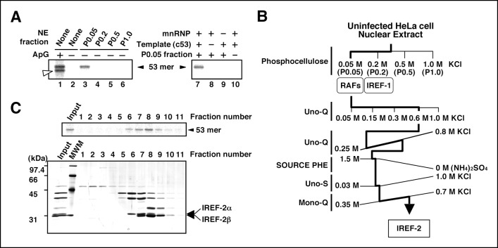 Purification of influenza virus replication factor-2 (IREF-2). ( A ) IREF-2 activity in uninfected nuclear extracts (NEs). Biochemical complementation assays using a cell-free vRNA replication system for fractions separated by phosphocellulose column chromatography were performed. The fractions, P0.05 (lane 3), P0.2 (lane 4), P0.5 (lane 5), and P1.0 (lane 6), were individually assayed in the cell-free viral RNA synthesis reaction employing 5 ng PB1-equivalent micrococcal nuclease-treated vRNP (mnRNP) as an enzyme source and 10 ng of the complementary RNA (cRNA) model template (c53), as described in the 'Materials and methods'. Dinucleotide ApG, serving as primer for viral RNA synthesis, was added to a final concentration of 0.2 mM (lane 1). To confirm the components required for the reactions, cell-free viral RNA synthesis with mnRNP and c53 in the presence of the P0.05 fraction was carried out (lane 7; identical to the conditions of lane 3). Simultaneously, reactions omitting the cRNA model template (lane 8), mnRNP (lane 9), or P0.05 fraction (lane 10; identical to the conditions of lane 2) were also carried out. After incubation at 30°C for 2 hr, each reaction product was collected and subjected to 10% Urea-PAGE followed by autoradiography. ( B ) Purification scheme of IREF-2 from uninfected HeLa cell NEnuclear extracts. For details regarding the column chromatography, see 'Materials and methods'. ( C ) Profile of the fractions from Mono-Q column chromatography at the final purification step. Each Mono-Q fraction (fraction numbers 1–11) or input material for the Mono-Q column chromatography (i.e., unbound fraction of the Uno-S column chromatography) was individually added to this cell-free viral RNA synthesis reaction in the absence of any added primers ( upper panel ). Each Mono-Q fraction was subjected to 11.5% SDS-PAGE, and polypeptides were visualized by silver staining ( lower panel ). The closed arrowhead indicates 53 mer RNA products. The open arrowhead (50
