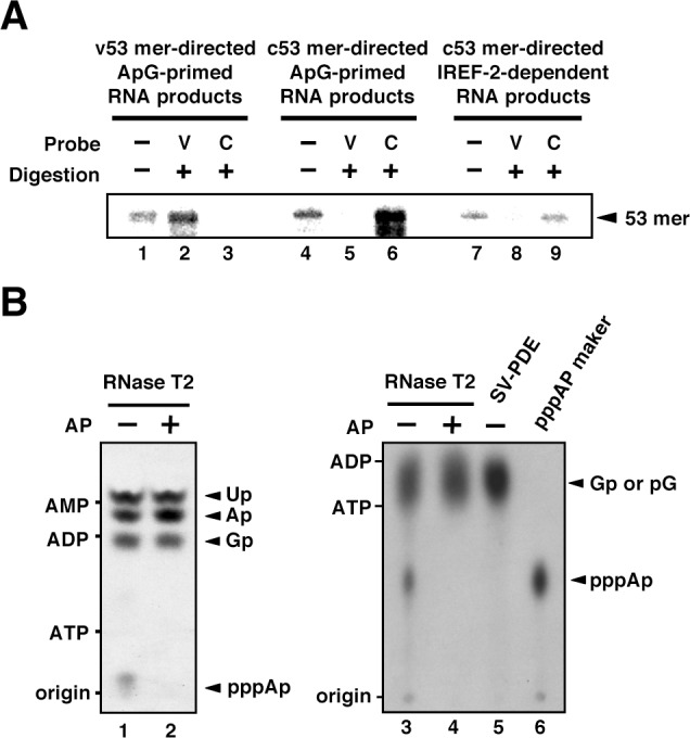 Products of influenza virus replication factor <t>(IREF-2)-dependent</t> unprimed RNA synthesis. ( A ) RNase T2 protection assay. Radioactively labeled vRNA products were synthesized in the cell-free viral RNA synthesis system with micrococcal nuclease-treated vRNP (mnRNP) and the v53 model template in the presence of ApG (lanes 1–3), the c53 model template in the presence of ApG (lanes 4–6), and c53 in the presence of the IREF-2 fraction and in the absence of ApG (lanes 7–9). Viral RNA products were hybridized with excess amounts of nonlabeled v53 (lanes 2, 5, and 8) or c53 (lanes 3, 6, and 9), which was followed by digestion with RNase T2. Hybridized and digested RNA samples were extracted, collected, and subjected to 10% Urea-PAGE followed by autoradiography visualization. The closed arrowhead indicates 53-nt-long RNAs. ( B ) Analysis of the 5'-terminal structure of IREF-2-dependent unprimed vRNA products. [α- 32 P] GTP-labeled IREF-2-dependent unprimed vRNA products were prepared in the cell-free viral RNA synthesis system. The radioactively labeled 53-nt-long vRNA products were isolated from 10% Urea-PAGE, which was followed by excision and elution from the gel. A portion of the isolated 53-nt-long products was treated with alkaline phosphatase (lanes 2 and 4). Both nontreated and alkaline phosphatase-treated [α- 32 P] GTP-labeled unprimed vRNA products were digested with RNase T2 (lanes 1–4) or snake venom phosphodiesterase (lane 5). The digested materials were spotted onto a polyethylenimine (PEI)-cellulose thin layer and developed with 1 N acetic acid-4 M LiCl (4:1, v/v) (left panel; lanes 1 and 2) or 1.6 M LiCl (right panel; lanes 3–6) and visualized by autoradiography. For mobility standards, nonradiolabeled AMP, ADP, and ATP were also subjected to thin-layer chromatography and are indicated on the left side of each panel. For a marker of pppAp, [γ- 32 P] ATP-labeled v53 synthesized using T7 RNA polymerase was also subjected to RNase T2 digestion and then 