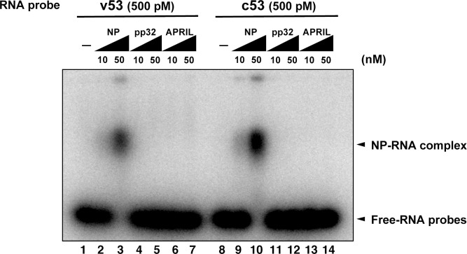 Electrophoresis mobility shift assay for influenza virus replication factor-2 (IREF-2) and viral RNA. Radioactively labeled 53-nt-long model vRNA and complementary RNA(cRNA) probes (v53 and c53; 246.9 cpm/fmol) were synthesized by T7 RNA polymerase using [α- 32 P] GTP and isolated by gel excision. Each 500 pM (final concentration) of the labeled viral RNA probes, v53 (lanes 1–7) and c53 (lanes 8–14) was incubated with 10 nM or 50 nM of recombinant NP prepared using the Escherichia. coli expression system (lanes 2, 3, 9, and 10), recombinant pp32 (lanes 4, 5, 11, and 12), and recombinant APRIL (lanes 6, 7, 13, and 14) in 50 mM HEPES-NaOH (pH 7.9), 50 mM KCl, 0.5 U/μl of RNase inhibitor, and 15% (v/v) glycerol at 30°C for 30 min. After incubation, each binding mixture was loaded onto 0.6% agarose gel (buffered with TBE) and separated by electrophoresis (50 V for 3 hr). The gel was dried and visualized by autoradiography. DOI: http://dx.doi.org/10.7554/eLife.08939.008