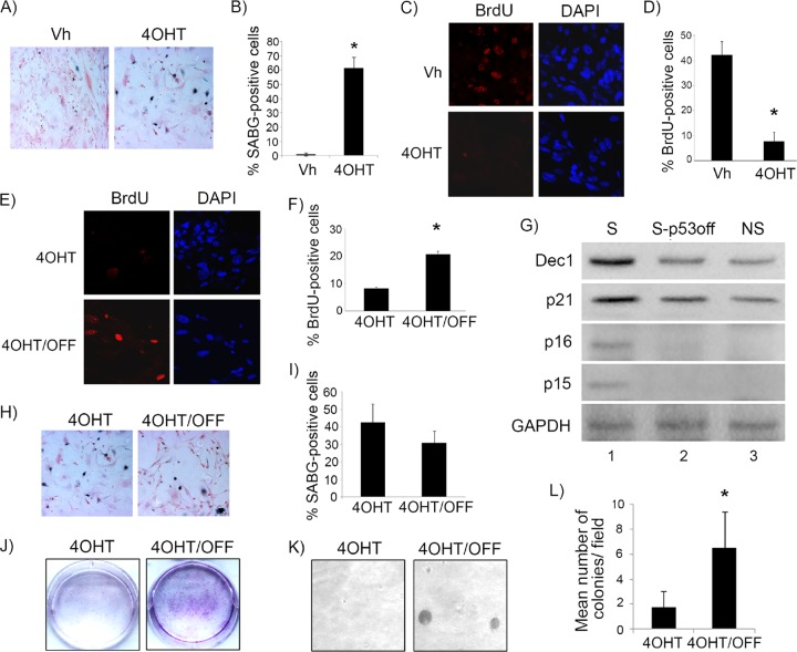 p53 is necessary for maintenance of RasV12-induced senescence in fibroblasts. (A) Representative staining for SABG in p53ERTAM Ki /− MEFs transduced with RasV12 and treated with either vehicle (Vh) or 4-OH tamoxifen (4OHT) to restore p53, as indicated. (B) Percent SABG-positive cells under the conditions represented in panel A. (C) BrdU and corresponding DAPI nuclear stain in p53ERTAM Ki /− MEFs treated as described for panel A. (D) Percent BrdU-positive cells under the conditions represented in panel C. (E) Representative staining for BrdU and corresponding DAPI nuclear stain in p53ERTAM Ki /− MEFs after RasV12 transduction and treatment with 4OHT to restore p53 for 1 week. After this, 4OHT treatment continued (4OHT) or was withdrawn to inactivate p53 (4OHT/OFF) for another week. (F) Percent BrdU-positive cells under the conditions represented in panel E. (G) Western blotting for the indicated proteins in p53ERTAM Ki /− MEFs after RasV12 transduction and treatment with 4OHT to restore p53 for 2 weeks (senescent cells [S]) or treatment with 4OHT for 1 week and then withdrawal to inactivate p53 for another week (S-p53OFF) or in control, RasV12 -transduced, vehicle-treated MEFs as never-senescent controls (NS). (H) Representative staining for SABG in p53ERTAM Ki /− MEFs treated as described for panel E. (I) Percent SABG-positive cells under the conditions represented in panel H. (J and K) Cell density assay by Cresyl violet staining (J) and soft-agar colony formation assay (K) in RasV12 -transduced p53ERTAM Ki /− MEFs after treatment with 4OHT to restore p53 for 1 week. Treatment was continued (4OHT) or was withdrawn to inactivate p53 (4OHT/OFF) for another 2 weeks, as indicated. (L) Mean number of colonies per field under each condition shown in panel K. Each point in panels B, D, F, I, and L represents the means from at least 5 fields and is representative of at least 2 independent experiments. Bars represent standard deviations, and asterisks denote a statistically