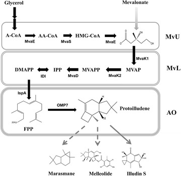Schematic diagram of protoilludene biosynthesis via mevalonate (MVA) pathway. Protoilludene biosynthesis pathway is divided into three portions: MvU (acetyl-CoA to mevalonate), MvL (mevalonate to IPP and DMAPP) and AO (IPP and DMAPP to protoilludene). MvU portion is composed of MvaE (HMG-CoA reductase/acetyl-CoA acetyltransferase) and MvaS (HMG-CoA synthase). MvL portion is comprised of MvaK1 (mevalonate kinase), MvaK2 (phosphomevalonate kinase), MvaD (diphosphomevalonate decarboxylase) and IDI (IPP isomerase). AO portion consists of IspA (FPP synthase) and OMP7 (protoilludene synthase). Illudins, marasmanes and melleolides are protoilludene derivatives. Pathway intermediates for protoilludene synthesis are as follows: A-CoA, acetyl-CoA; AA-CoA, acetoacetyl-CoA; HMG-CoA, hydroxymethylglutaryl-CoA; MVAP, phosphomevalonate; MVAPP, diphosphomevalonate; IPP, isopentenyl diphosphate; DMAPP, dimethylallyl diphosphate; and FPP, farnesyl diphosphate. Solid and dashed arrows indicate the identified and unidentified reactions, respectively