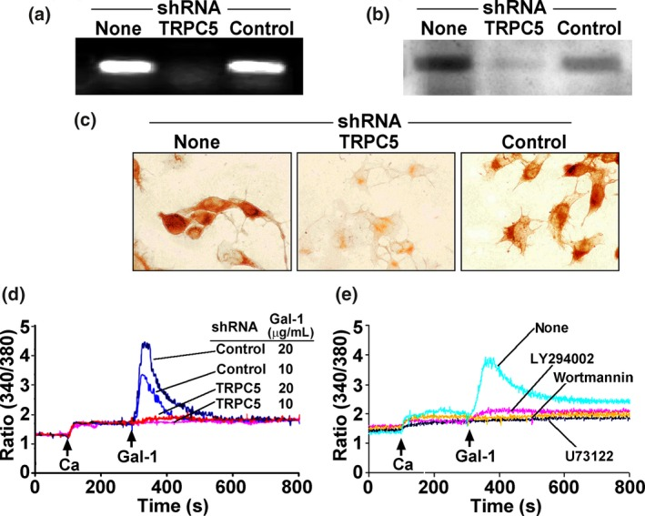 Involvement of TRPC 5 in Ca 2+ influx. NG 108‐15 cells were transfected with TRPC 5‐specific sh RNA or control sh RNA for 48 hr. Suppression of TRPC 5 was demonstrated with RT ‐ PCR (a), immunoblotting (b), and immunocytochemical staining (c). (d) [Ca 2+ ] i measurement showing inhibition of galectin‐1 (Gal‐1)‐induced [Ca 2+ ] i elevation by TRPC 5‐specific sh RNA but not control sh RNA . (e) Cells were treated with the phospholipase C ( PLC ) inhibitor <t>U73122</t> (1 μM), the PI (3)K inhibitors LY 294002 (5 μM) and wortmannin (2 μM), showing inhibition of Gal‐1‐induced Ca 2+ response.