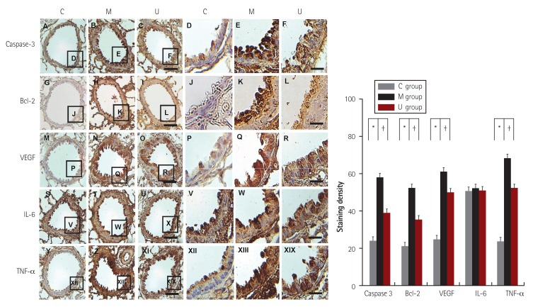 Immunohistochemical staing in the lung tissues. Immunohistochemical staining showed that caspase-3, Bcl-2, IL-6, TNF-α and VEGF expression levels were significantly higher in the M group than in the C group; however, the e xpression was lower in the U group than in the M group. * p