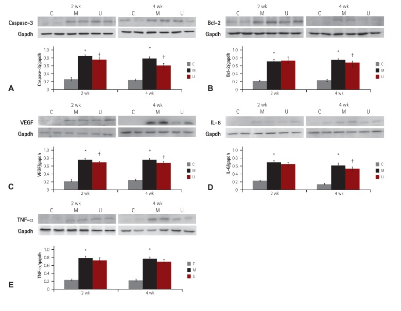Changes in caspase-3, Bcl-2, IL-6, TNF-α and VEGF protein expression levels after hUCB-MSCs injection in PAH rat lung tissues. The protein expression levels of caspase-3 (A), Bcl-2 (B), VEGF (C), IL-6 (D) and TNF-α (E) were significantly increased in the M group, as compared with the C group at weeks 2 and 4. The protein expression levels of caspase-3, Bcl-2, IL-6 and VEGF were greatly decreased in the M group, as compared with the C group at week 4. * p