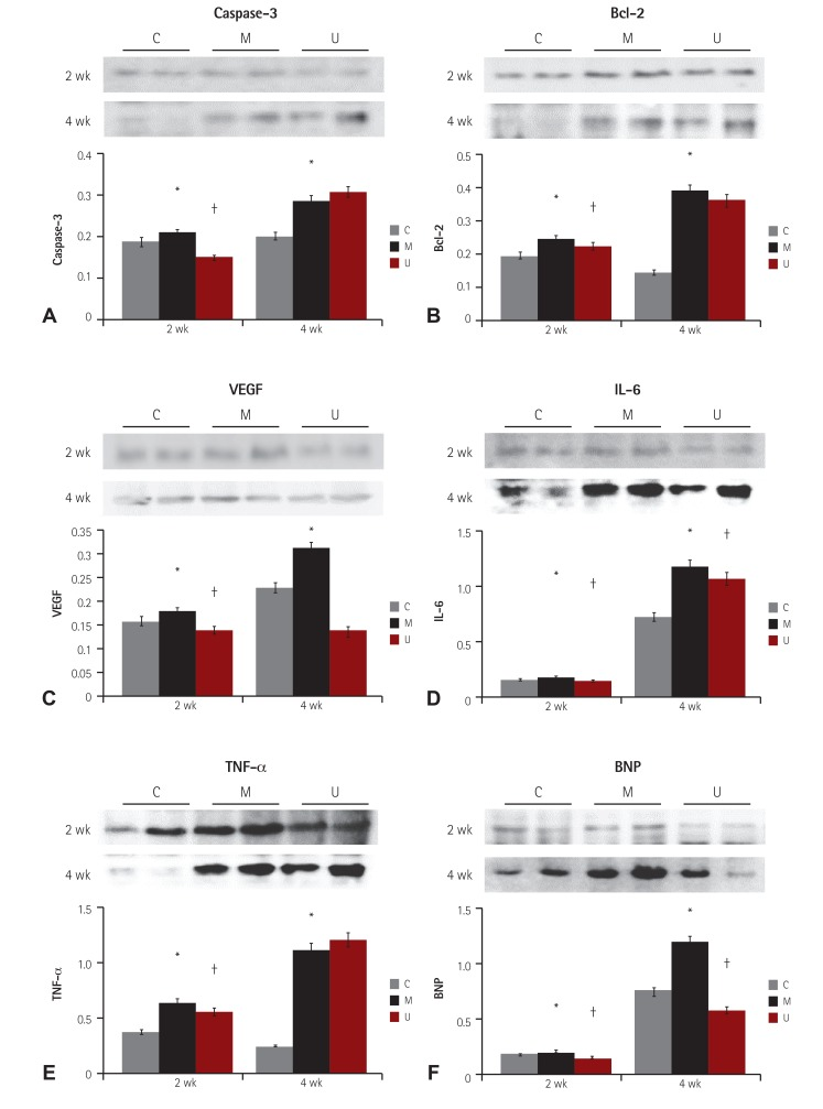 Changes of caspase-3 (A), Bcl-2 (B), VEGF (C), IL-6 (D), TNF-α (E), and BNP (F) protein expression levels after hUCB-MSCs injection in PAH rat heart tissues. The protein expressions of caspase-3, Bcl-2 and TNF-α were greatly decreased in the U group, as compared with the M group at week 2. The protein expressions of VEGF, IL-6 and BNP were significantly decreased in the U group in comparison with the M group at weeks 2 and 4 (p