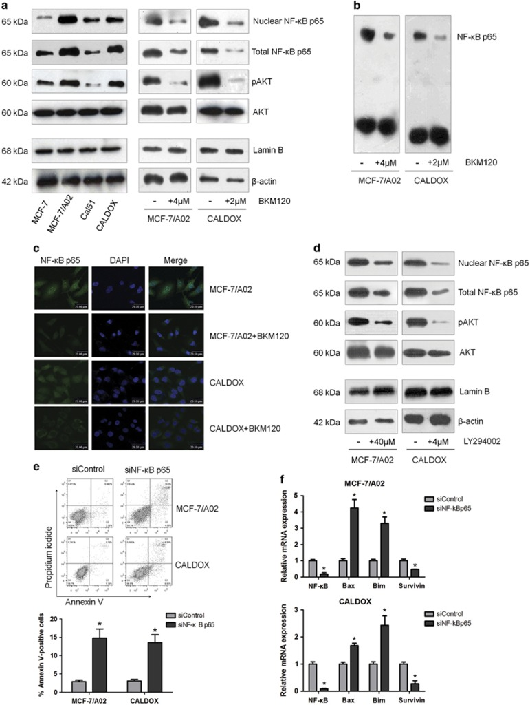 The PI3K/AKT pathway inhibitor induces apoptosis through suppressing NF- ĸ B activity. ( a ) Western blots show BKM120 downregulating pAKT, nuclear NF- κ B p65 and total NF- κ B p65 in MDR and their parental cells. β -actin was used as a loading control for pAKT, AKT and total NF- κ B p65. Lamin B was used as a loading control for nuclear NF- κ B p65. ( b ) EMSA results show that BKM120 treatments (4 μ M for MCF-7/A02 and 2 μ M for CALDOX) decreased NF- κ B DNA-binding activity in MDR cells. ( c ) Immunofluorescence staining of NF- κ B p65 in MDR cells treated with or without BKM120 (4 μ M for MCF-7/A02 and 2 μ M for CALDOX) for 48 h. ( d ) Western blots show LY294002 treatments (40 μ M for MCF-7/A02 and 4 μ M for CALDOX) downregulating pAKT, nuclear NF- κ B p65 and total NF- κ B p65 in MDR cells. ( e ) MCF-7/A02 and CALDOX cells were transiently transfected with NF- κ B p65 siRNA (siNF- κ B p65) or scrambled siRNA (siControl). Three days after transfection, cells were stained with Annexin V/PI and cell death was quantified using flow cytometry. Representative plots of three independent experiments are shown. Quantitative data show the average percentage of annexin V-positive cells (both in early apoptosis, lower right quadrant, and late apoptosis, upper right quadrant) of three independent experiments (lower panel). ( f ) Fold changes of NF- κ B p65, Bax, Bim and Survivin mRNA levels detected using RT-qPCR in MDR cells after NF- κ B p65 siRNA transfection for 72 h. Numerical data are presented as mean±S.D. of three independent replicates. * P