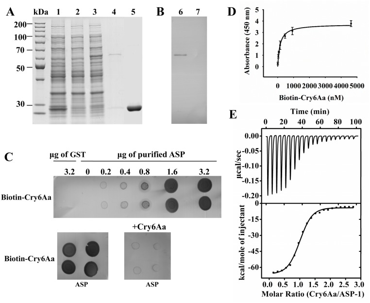 The specific interactions between Cry6Aa and ASP-1. (A) The expression and purification of ASP1-GST fusion protein in E . coli . Lane 1, E . coli BL21 containing pGEX-6p-1 vector with 0.1 mM IPTG induction under 16°C overnight, cell pellet; lane 2, E . coli BL21 containing pASP1-GSTvector without IPTG induction, cell pellet. lane 3, E . coli BL21 containing pASP1-GST vector with 0.1 mM IPTG induction under 16°C overnight, cell pellet. lane 4, purified ASP1-GST fusion protein eluted from the glutathione Sepharose bulk; lane 5, purified GST tag eluted from the glutathione Sepharose bulk. (B) The binding of Cry6Aa to ASP1-GST fusion proteins by ligand blotting. The purified ASP1-GST fusion proteins (lane 6) or GST (lane 7) were separated by SDS-PAGE gels, and were transferred to a PVDF membrane. Filters were blocked overnight, and then probed with biotinylated Cry6Aa, Unbound toxin was removed by washing. The bound protein was detected <t>streptavidin-horseradish</t> peroxidase <t>(HRP)</t> conjugate. And finally the membrane was visualized. GST was the control. (C) ASP-1 proteins were dotted on a NC membrane directly and were probed with biotin labeled Cry6Aa or with biotin labeled Cry6Aa plus unlabeled Cry6Aa (1000-fold). GST was the control. (D) Binding affinity of Cry6Aa to ASP-1 was determined by ELISA. Ninety-six-well microtiter plates coated with ASP-1 were incubated with increasing concentrations of biotinylated Cry6Aa alone or with 1000-fold molar excess of unlabeled Cry6Aa to determine specific binding. Each point represents mean amounts of protein specifically bound. Specific binding was determined by subtracting nonspecific binding (with 1000-fold molar excess of unlabeled Cry6Aa) from total binding (without excess unlabeled Cry6Aa). (E) Isothermal titration calorimetric analysis of Cry6Aa binding to ASP-1. Titration of ASP-1 (2.20 μM) with 21.16 μM Cry6Aa. The top panel show the raw data of the heat released, and the bottom panel show the binding isotherm fitted using nonlinear binding models. Data were analyzed in Origin 8.6 software after subtracting the heat released from titrating Cry6Aa alone into buffer. One of three representative experiments is shown.