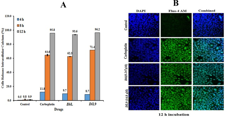 Increase in intracellular [Ca 2+ ]i release of lectin stimulated PANC-1 cells. PANC-1 cells were treated with lectins ( Bh L: 0.247 and Di L9: 14.8 μM) for 4, 8 and 12 h, stained with Fluo-4/AM (4μM, green) and DAPI (blue). (A) Depicts the percentage of cells releasing calcium over a period of time. (B) Represents the overlay of confocal microscopy images of fluorescence intensity of cells bound with Fluo-4/AM (green) releasing calcium after 12 h of incubation. The analysis was carried out using LSCM, Magnification <t>20X</t> (scale, 100 μm).
