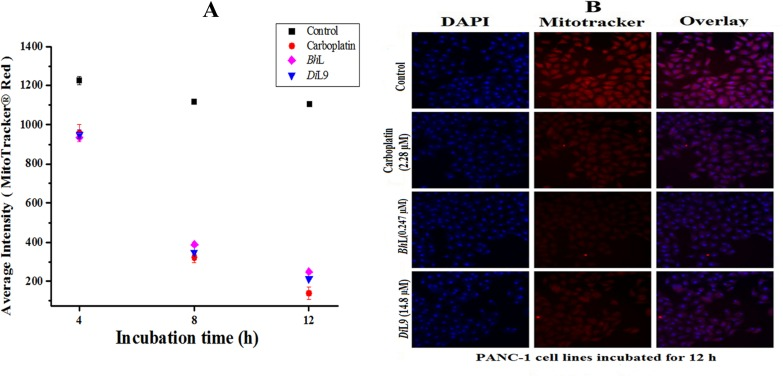 Alteration of mitochondrial transmembrane potential. Lectin ( Bh L: 0.247 and Di L9: 14.8 μM) treated cells were incubated for 4, 8 and 12 h and stained with Mito Tracker Red (0.1 μmol l -1 ) for 15 min at 37°C. (A) Quantification of average intensity of mitochondrial depolarized cells. Data are expressed as mean value ± SD, obtained from three independent experiments.(B) The overlay represents the fluorescence intensity of cells bound with Mitotracker Red, recorded by LSCM, Magnification 20X objective (scale, 100 μm). Loss in red intensity represents the loss in mitochondrial membrane potential.