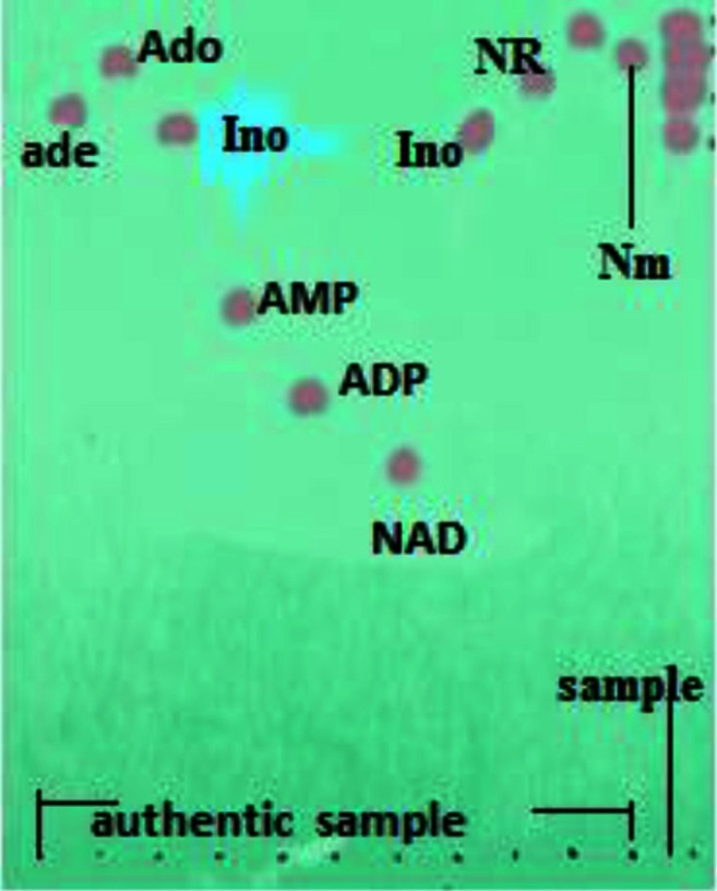 TLC analysis of products from NAD degradation activity of P. brevicompactum aminohydrolase. Right lane was the sample of reaction mixture containing 5 µM NAD being treated at 50 °C for 2 h by aminohydrolase at an initial concentration of 20 µg. Concentrations of chemical standards were 2 mM. Abbreviations of authentic: NAD, nicotinamide adenine dinucleotide; AMP, adenosine 5′-monophosphate; ADP, adenosine 5′-diphosphate; Ado, adenosine; Ade, adenine; Ino, inosine; Nm, nicotinamide; NR, nicotinamide riboside