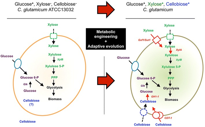 Scheme of reconstruction of cellobiose-utilizing and xylose-utilizing pathway in C. glutamicum ATCC 13032. C. glutamicum wild-type is not able to utilize cellobiose and xylose as sole carbon source ( left ). No genes for xylose isomerase, cellobiose transporters, and β-glucosidase are annotated (shown as no arrow ). Through metabolic engineering and adaptive evolution of C. glutamicum strains ( right ), the cells were able to utilize cellobiose and xylose. Extracellular cellobiose was transported and intracellular β-glucosidase encoded by the gh1 - 1 gene hydrolyzed intracellular cellobiose to glucose, which further was metabolized by glucokinase (Glk) into glycolysis. Xylose metabolic pathway consists of heterologous xylose isomerase ( xylA from E. coli ) and additional xylulose kinase ( xylB from E. coli ). Transporter of Gxf1 ( Candida intermedia ) and Sut1 ( Pichia stipitis ), respectively was introduced as a xylose transporter