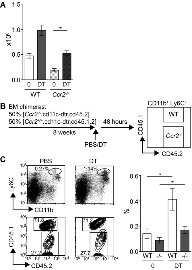 CCR2-independent expansion of DT-Ly6C + monocytes in vivo. (A) CD11c.DTR.Ccr2 −/− mice or CD11c.DTR controls were injected with PBS ( n = 3–4) or DT ( n = 2–4) and the expansion of monocytes analyzed in the spleen 48 h later. Graph shows the number of CD11b + Ly6C + cells ± SEM, PBS versus DT in CD11c.DTR.Ccr2 −/− mice p = 0.029. Data are pooled from three independent experiments. (B) Schematic diagram describing the competitive chimera experiments. (C) Left: representative flow cytometry plots showing CD11b + Ly6C + monocytes in pregated bulk splenic CD45.2 + hematopoietic cells from PBS- or DT-treated chimeras, and the percentage of WT (CD45.1 + CD45.2 + ) or Ccr2 −/− (CD45.2 + ) cells in the monocyte gate. Right: graph shows the frequency of WT or Ccr2 −/− CD11b + Ly6C + cells in the spleens of PBS- or DT-treated chimeras; PBS-treated ( n = 6) and DT-treated ( n = 6) mice. WT cells PBS versus DT p = 0.0260, Ccr2 −/− cells p = 0.0411. Data are pooled from two independent experiments. Statistical analyses were carried out with a Mann–Whitney U test.