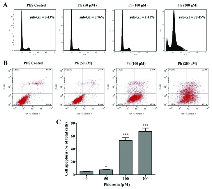 Ph induces cell apoptosis in A549 cells. (A) A549 cells were incubated with indicated concentrations of Ph for 24 h, stained with PI and analyzed for DNA content by flow cytometry. (B) A549 cells were incubated with Ph for 24 h, harvested, and then subjected to quantitative analysis of cell apoptosis by Annexin V and PI double-stained flow cytometry. (C) The number of apoptotic cells accounts for the total cells of each group after 24 h Ph treatment. Data are expressed as mean ± SD, n=3, * P