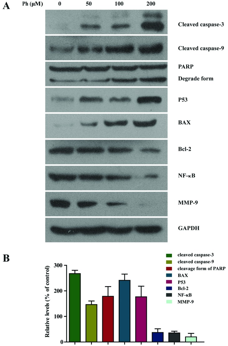 Activation of caspase-3 and -9, PARP, BAX and P53 was increased in Ph-treated A549 cells. (A) A549 cells were treated with 50, 100 and 200 µ M Ph for 24 h and subjected to western blotting with an antibody against cleaved caspase-3 and -9, PARP, BAX, P53, Bcl-2, NF-κB and MMP-9 antibody. (B) Quantitative results of cleaved caspase-3 and -9, PARP, BAX, P53, Bcl-2, NF-κB and MMP-9 protein levels after 200 µ M Ph-treated for 24 h, which were adjusted to GAPDH protein level and expressed as multiples of induction beyond each respective control. Data are expressed as mean ± SD (n=3).