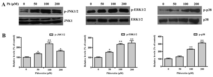 Activation of JNK1/2, ERK1/2 and P38 MAPK was increased in Ph-treated A549 cells. Stimulation of the phosphorylation of ERK, P38 and JNK in A549 cells by Ph. (A) A549 cells were treated with different concentration of Ph and western blotting were applied for analysis of phosphorylation as described in the Materials and methods. Phosphorylation of ERK, JNK, P38 were significantly elevated with Ph in a concentration-dependent manner. (B) Quantitative results of p-JNK1/2, p-ERK1/2 and p-p38 MAPK protein levels, which were adjusted to GAPDH protein level and expressed as multiples of induction beyond each respective control. Data are expressed as mean ± SD (n=3). * P