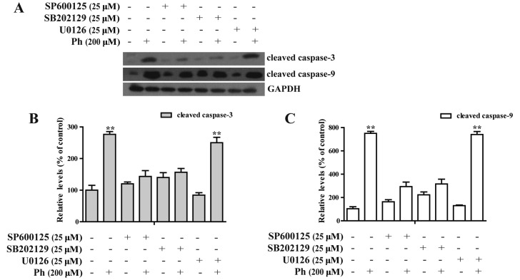 Apoptosis induction by Ph is dependent on the regulation of JNK1/2 and P38 MAPK signaling pathways in A549 cells. Effect of ERK1/2, JNK and p38 MAPK inhibitors on Ph-induced caspase activation. (A) A549 cells were pretreated with 25 µ M U0126, SP600125 or SB202190 for 45 min and then treated with 200 µ M Ph for 24 h, respectively. The expression of cleaved caspase-3 and -9 were detected by western blotting. (B and C) Quantitative results of cleaved caspase-3 and -9 protein levels, which were adjusted to the GAPDH protein level. Data are shown with mean ± SD, n=3, ** P