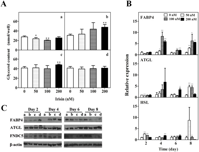 Effect of GST-irisin on lipolysis in 3T3-L1 mature adipocytes. A: Effect of GST-irisin on the release of glycerol in 3T3-L1 mature adipocytes. The adipocytes were cultured with various GST-irisin concentrations (0, 50, 100, and 200 nM) for 2 (a), 4 (b), 6 (c) and 8 (d) days. B: The mRNA expression of FABP4, ATGL, and HSL was determined by qPCR. C: The protein levels of FABP4, ATGL, FNDC5, and β-actin were determined by western blotting. The adipocytes were cultured with various GST-irisin concentrations, and the concentration was 0 (a), 50 (b), 100 (c), and 200 (d) nM. Values are expressed as the mean ± SD of three independent experiments. * P