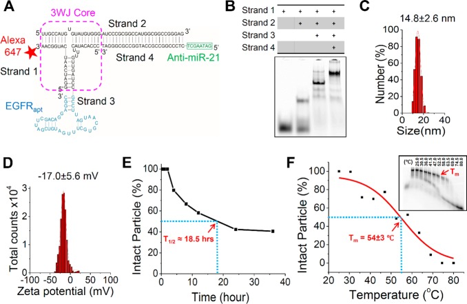 Design and physicochemical characterization of 3WJ-EGFRapt/anti-miR-21 nanoparticles. (A) 2D sequence of the nanoparticle harboring three functional modules: EGFR RNA aptamer for targeted delivery, anti-miR-21 LNA for therapy, and Alexa-647 dye for imaging. (B) Native PAGE showing stepwise highly efficient assembly of the RNA nanoparticle. (C) DLS measurements showing the hydrodynamic size. (D) Zeta potential. (E) Serum stability assay. (F) Apparent T m extracted from temperature gradient gel electrophoresis (TGGE, insert).