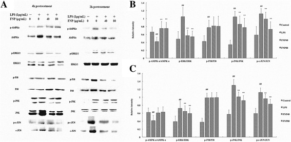 Effects of FNP on phosphorylation of MAPKs and AMPK in LPS-stimulated RAW264.7 cells. Notes: The cells were pretreated with different concentrations (40 μg/mL and 80 μg/mL) of FNP for 2 h or 4 h and stimulated with 1 μg/ml of LPS for 1 h. Total cellular proteins (50 μg) were separated by SDS-PAGE, then transferred to PVDF membrane and detected by Western blot analysis. Western blot results were shown in ( a ). Quantification of p-AMPKα, p-ERK1/2, p-P38, p-JNK and p-c-JUN protein expression was normalized to AMPKα, ERK1/2, P38, JNK and c-JUN using a densitometer. Each column represented as the means ± SD from three independent experiments. Results of 4h pretreatment were shown in ( b ) and results of 2 h pretreatment were shown in ( c ). # P