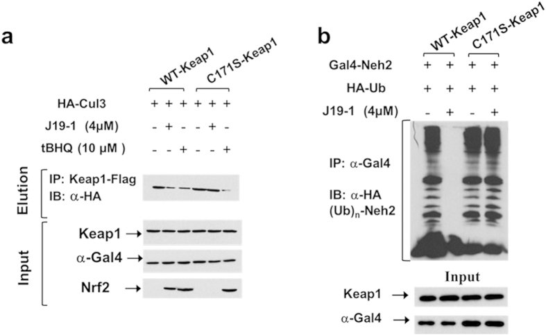 J19-1 actives Nrf2 pathway by inhibiting Keap1-mediated Nrf2 ubiquitination in vivo in a C171 dependent manner. ( a ) HEK293 cells were transiently transfected with WT-Keap1 or C171S-Keap1, Gal4-Neh2, and HA-Ub and treated with indicated concentration of J19-1 or tBHQ for 5 h. Lysates were immunoprecipitated by anti-Gal4 antibody, and ubiquitination was assessed using anti-HA antibody. ( b ) HEK293 cells were transiently transfected with HA-Cul3 and Flag-tagged WT (or C171S) Keap1, and then treated with tBHQ or 4 μM J19-1 for 5 h. Pull-down using Flag beads and ensuing immunoblot analysis with anti-HA antibody.
