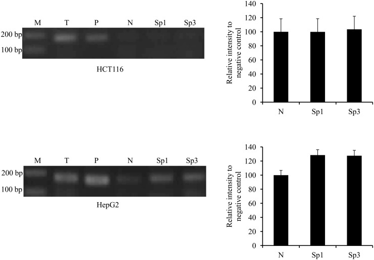 ChIP analysis of ek1 minimal promoter region for the binding of Sp1 and Sp3 in HCT116 and HepG2 cells. PCR amplification products were resolved on 2% (w/v) agarose gel and visualized by EtBr staining. Band intensities were quantitated with Image J 1.42 and the relative intensities (compared to negative control) of PCR products from Sp1 and Sp3 immunoprecipitates were plotted. Each bar represents standard error of means (SEM) from two independent experiments. M: GeneRuler ™ DNA Ladder Mix; T: total input sample (unprocessed chromatin); P: positive control (amplified using GAPDH Primers) and N: pre-immune normal rabbit IgG (negative control).