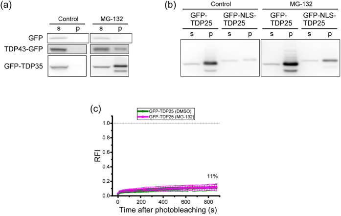 Structural characterization of inclusion bodies (IBs) containing TDP43 carboxyl-terminal fragments (CTFs). ( a , b ) Western blotting of GFP-tagged TDP43 and TDP43 CTFs after fractionation into 0.1% SDS soluble (s) or insoluble (p) parts. ( c ) The fluorescence recovery curve of GFP-TDP25 in IBs in the cytoplasm with and without the proteasome inhibitor MG-132 (magenta and green, respectively). The dashed gray line indicates the values of zero and 1.0 of relative fluorescence intensity (RFI). Inset values show the maximum recovery rate.