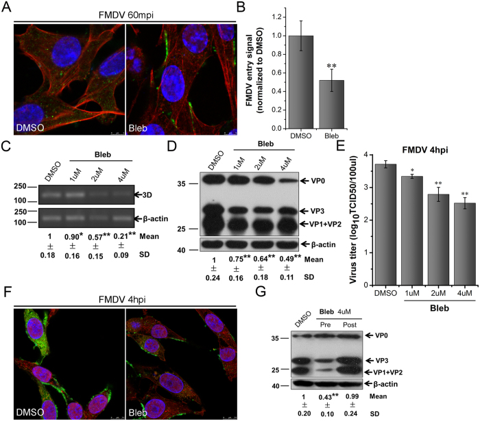 Myosin II is required for FMDV entry in BHK-21 cells. (A,B) Bleb inhibited FMDV entry. Pretreated cells (4 μM Bleb) were infected (MOI 25) for 1 h at 37 °C and processed for confocal microscopy with AF594-phalloidin (red), anti-FMDV (green), and DAPI (blue). (B) Quantitative analysis of the internalization of FMDV. The internalized FMDV were analyzed in 10 individual DMSO- or Bleb-treated cells. Each experiment was performed in triplicate and the results were presented as the mean ± SD. ( C–F) FMDV infection was inhibited by Bleb. (C–E) Pretreated cells (Bleb) were infected (MOI 1) for 4 h at 37 °C and analyzed by RT-PCR (C), Western blot (D), and TCID50 assay (E). (F) Pretreated cells (4 μM Bleb) were infected (MOI 25) for 4 h at 37 °C and processed for confocal microscopy as in ( A ). (G) Effect of Bleb on virus entry and post-entry steps. Cells were treated with Bleb 30 min before the infection (Pre) or treated 60 min after virus addition (Post) and maintained during the infection. Cells were then infected (MOI 1) for 4 h at 37 °C and processed for Western blot analysis. 3D, FMDV 3D; β-actin, load control; SD, standard deviation; *P