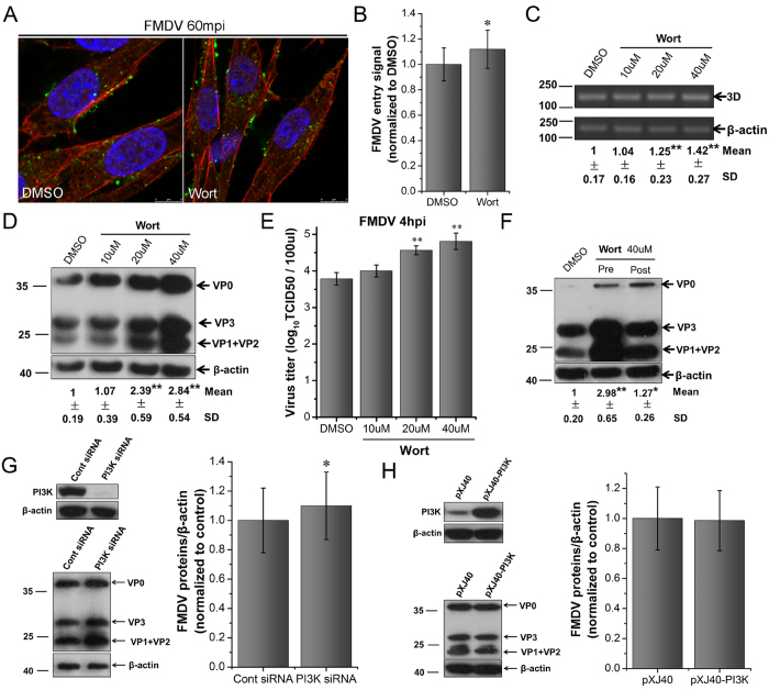 PI3K is not required for FMDV entry and replication in BHK-21 cells. (A,B) Wort moderately stimulated FMDV entry. Pretreated cells (40 μM Wort) were infected (MOI 25) for 1 h at 37 °C and processed for confocal microscopy with AF594-phalloidin (red), anti-FMDV (green), and DAPI (blue). (B) Quantitative analysis of the internalization of FMDV. The internalized FMDV were analyzed in 10 individual DMSO- or Wort-treated cells. Each experiment was performed in triplicate and the results were presented as the mean ± SD. ( C–E) Wort enhanced FMDV infection. Pretreated cells (Wort) were infected (MOI 1) for 4 h at 37 °C and analyzed by RT-PCR ( C ), Western blot ( D ), and TCID50 assay ( E ). (F) Effect of Wort on virus entry and post-entry steps. Cells were treated with Wort 30 min before the infection (Pre) or treated 60 min after virus addition (Post) and maintained during the infection. Cells were then infected (MOI 1) for 4 h at 37 °C and processed for Western blot analysis. (G) PI3K downregulation moderately enhanced FMDV infection. (H) PI3K overexpression did not affect FMDV infection. 3D, FMDV 3D; β-actin, load control; SD, standard deviation; *P
