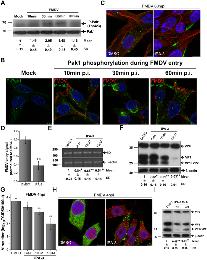 Pak1 is required for FMDV entry into BHK-21cells. (A,B) FMDV activated Pak1 during early post-infection. (A) Cells were infected (MOI 10), and phosphorylation of Pak1 (Thr423) was determined at different times after infection by Western blot analysis. The level of total Pak1 was measured as the control. Fold induction was determined by densitometry. (B) Cells were infected (MOI 25) and processed for confocal microscopy with anti-phospho-Pak1 (green), anti-FMDV (red), and DAPI (blue). (C,D) IPA-3 inhibited FMDV entry. Pretreated cells (15 μM IPA-3) were infected (MOI 25) for 1 h at 37 °C and processed for confocal microscopy with AF594-phalloidin (red), anti-FMDV (green), and DAPI (blue). (D) Quantitative analysis of the internalization of FMDV. The internalized FMDV were analyzed in 10 individual DMSO- or IPA-3-treated cells. Each experiment was performed in triplicate and the results were presented as the mean ± SD. ( E–H ) FMDV infection was inhibited by IPA-3. (E–G) Pretreated cells (IPA-3) were infected (MOI 1) for 4 h at 37 °C and analyzed by RT-PCR (E), Western blot (F), and TCID50 assay (G). (H) Pretreated cells (15 μM IPA-3) were infected (MOI 25) for 4 h at 37 °C and processed for confocal microscopy as in ( C ). (I) Effect of IPA-3 on virus entry and post-entry steps. Cells were treated with IPA-3 30 min before the infection (Pre) or treated 60 min after virus addition (Post) and maintained during the infection. Cells were then infected (MOI 1) for 4 h at 37 °C and processed for Western blot analysis. 3D, FMDV 3D; β-actin, load control; SD, standard deviation; *P