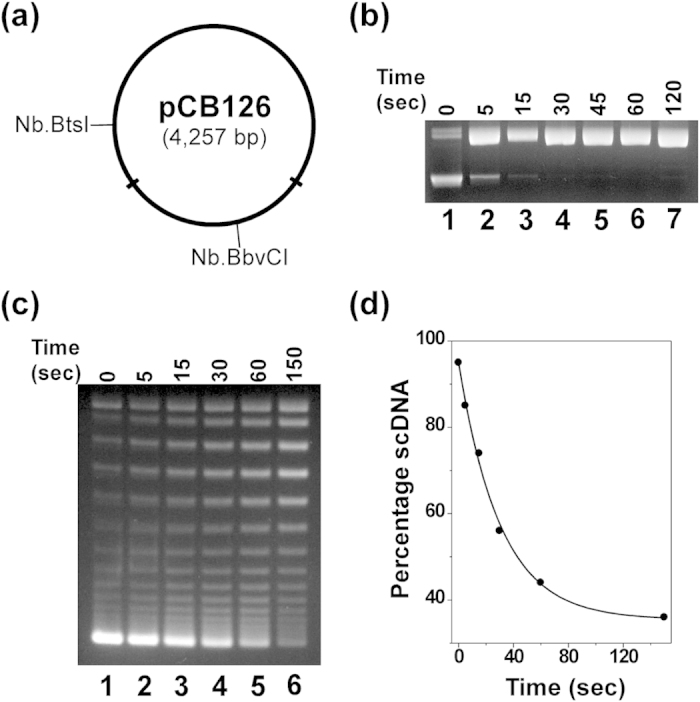 One molecule of LacI tetramer divided a supercoiled DNA molecule plasmid pCB126 into two independent topological domains. ( a ) Plasmid pCB126 carrying two lac O1 operators in two different locations was constructed as detailed in Methods. ( b ) The nicking enzyme Nt.BbvCI was able to rapidly digest pCB126. Time course of enzyme digestion of pCB126 using 16 units of Nt.BbvCI in 1 × NEBuffer 4 at 37 °C. Lane 1 contained the undigested scDNA. ( c ) Time course of DNA supercoiling diffusion in the presence of LacI. The DNA-nicking assays were performed as described under Methods. Each reaction mixture (320 μL) contained 0.156 nM of pCB126, 2.5 nM of LacI, and 16 units of Nt.BbvCI. The reactions were incubated at 37 °C for the time indicated. Then a large excess of a double-stranded oligonucleotide contain an Nt.BbvCI recognition site was added to the reaction mixture to inhibit the restriction enzyme activities. The nicked DNA templates were ligated by T4 DNA ligase in the presence of 1 mM of ATP at 37 °C for 5 min and the reactions were terminated by phenol extraction. The DNA molecules were isolated and subjected to agarose gel electrophoresis. ( d ) Quantification analysis of the time course. The percentage of supercoiled DNA was plotted against the reaction time. The curve was generated by fitting the data to a 1st-order rate equation to yield a rate constant of 0.016 sec −1 and a t 1/2 of 52 sec.
