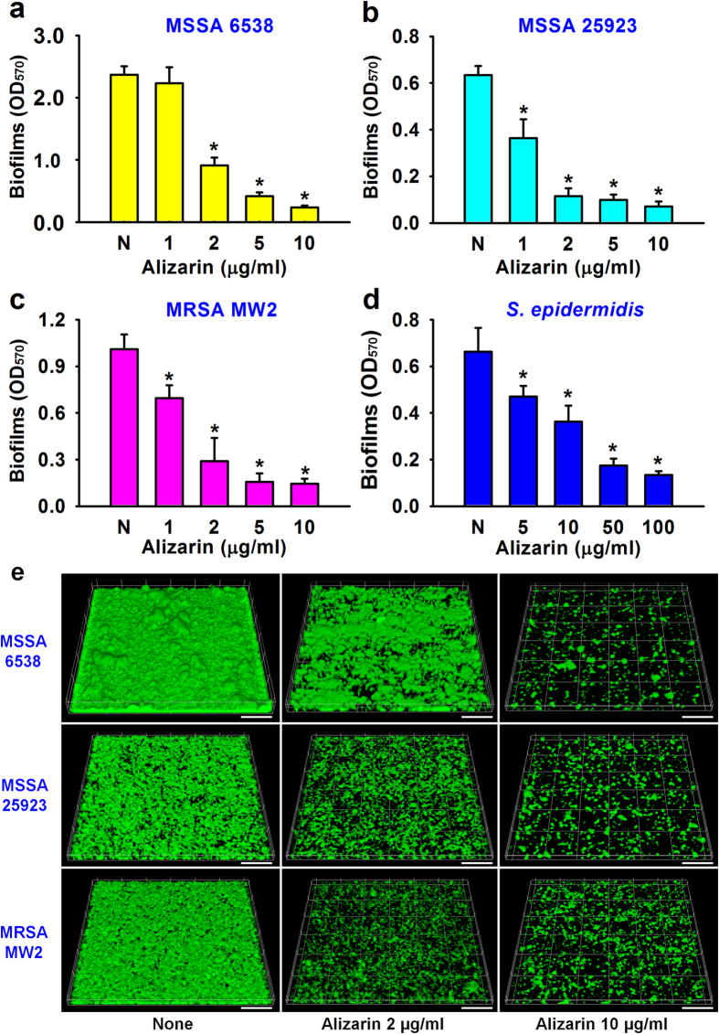Antibiofilm activities of alizarin against  S. aureus  and  S. epidermidis . The antibiofilm activities (OD 570 ) of alizarin were determined against two methicillin-sensitive  S. aureus  strains (MSSA, ATCC 25923 and ATCC 6538), a methicillin-resistant  S. aureus  strain (MRSA, MW2) ( a–c ), and  S. epidermidis  (ATCC 14990) ( d ). Two independent experiments were conducted (12 wells per sample); error bars indicate standard deviations. * P