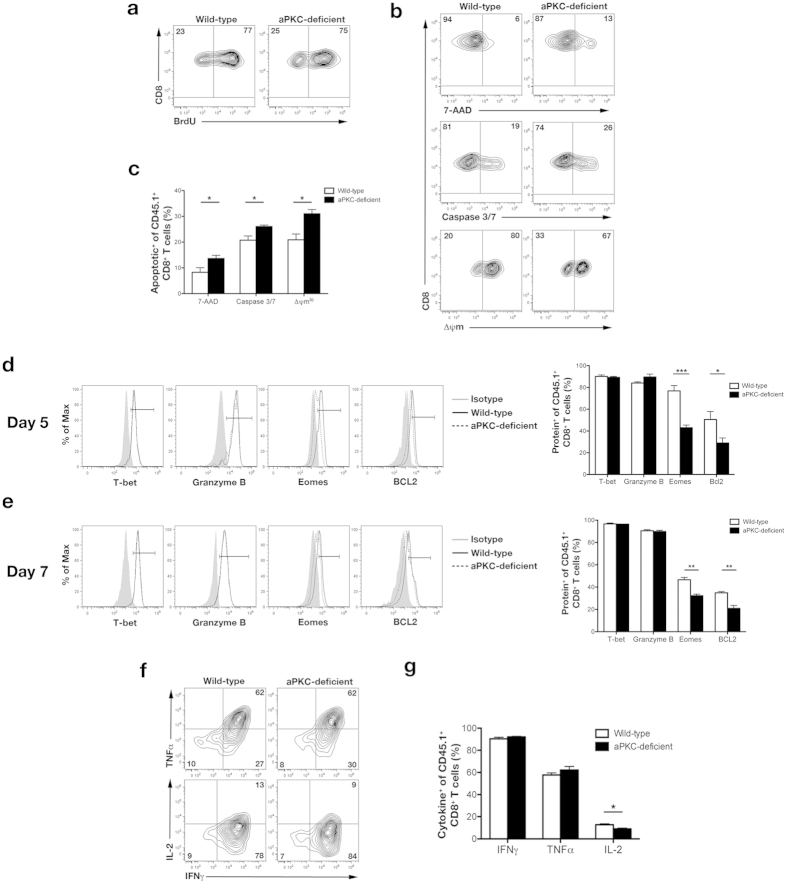 Deficiency of aPKC increases differentiation into the terminal effector fate early during the immune response. ( a ) BrdU incorporation after a 1 hour pulse-chase by wild-type or aPKC-deficient OT-I CD8 + T cells on day 5 post-infection in the spleens of mice that received 5 × 10 3 wild-type or aPKC-deficient OT-I CD45.1 + CD8 + T cells and were infected with Lm-OVA. ( b ) 7-AAD uptake (top), active caspase-3/-7 (middle), and mitochondrial membrane potential (Δψm) (bottom) of wild-type or aPKC-deficient OT-I CD8 + T cells on day 5 post-infection in the spleens of mice that received cells as in ( a ). ( c ) Frequencies of apoptotic (7-AAD + , Caspase 3/7 + , or Δψm lo ) wild-type or aPKC-deficient OT-I CD8 + T cells from mice shown in (b). Bars represent mean ± SEM, n = 4/group. ( d,e ) Left, expression of T-bet, Granzyme B, Eomes, and Bcl2 by wild-type (solid black) or aPKC-deficient (dashed black) CD45.1 + CD8 + T cells on days ( d ) 5 or ( e ) 7 post-infection in the spleens of mice as in ( a ). Isotype controls (gray filled) are shown with the associated gates used to measure the percentage of cells expressing the indicated protein. Right, frequencies of expression of T-bet, Granzyme B, Eomes, and Bcl2 from mice shown on the left. Bars represent mean ± SEM, n = 3–4/group. ( f ) Expression of IFNγ, TNFα, and IL-2 by wild-type or aPKC-deficient OT-I CD45.1 + CD8 + T cells following restimulation ex vivo for 6 hours with ovalbumin peptide on day 7 post-infection. ( g ) Frequencies of expression of IFNγ, TNFα, or IL-2 from mice shown in ( f ). Bars represent mean ± SEM, n = 3–4/group. *P