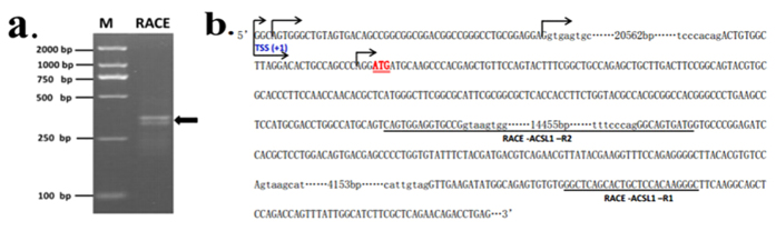 5′ <t>RACE</t> analysis of the ACSL1 <t>cDNA</t> synthesized from skeletal muscle. ( a ) ACSL1 5′ RACE products from nested PCR were analyzed by agarose gel electrophoresis. Arrowheads indicate the resulting DNA bands. ( b ) Sequence of the ACSL1 promoter and the downstream region. The positions of identified TSS were marked with arrows. The primers used for 5′ RACE analysis are underlined. The translational start site (ATG) is shown by a double underline. The 5′ untranslated region and exons are shown in capitals, and introns are shown in small letters with the total intron sizes shown.