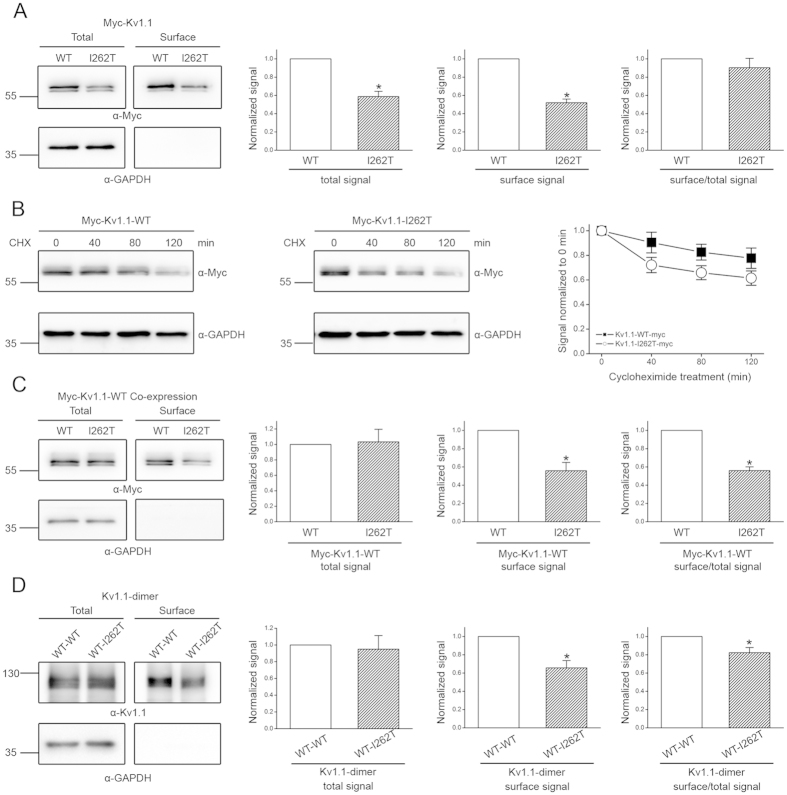 Biochemical analyses of the mechanism underlying the dominant-negative effect of I262T. ( A ) Surface biotinylation analyses of Myc-tagged Kv1.1 (Myc-Kv1.1) WT and I262T in HEK293T cells. ( Left ) Representative immunoblots. The molecular weight markers (in kilodaltons) are labeled to the left, and the immunoblotting antibodies (α-Myc and α-GAPDH) are specified below the immunoblots. Cell lysates from biotinylated intact cells were either directly employed for immunoblotting analyses (total) or subject to streptavidin pull-down before being used for immunoblotting analyses (surface). ( Right ) Quantification of total protein level (total signal), surface protein level (surface signal), and surface expression efficiency (surface/total signal). I262T shows reduced protein level. The total protein density was standardized as the ratio of total Myc signal to the signal of the loading control GAPDH. The surface protein density was standardized as the ratio of surface Myc signal to the cognate total GAPDH signal. The efficiency of surface presentation is expressed as surface protein density divided by the corresponding standardized total protein density. ( B ) The kinetics of Myc-Kv1.1-WT and Myc-Kv1.1-I262T protein degradation in the presence of 100 μg/ml cycloheximide (CHX) treatments of different durations. ( Left ) Representative immunoblots. ( Right ) Quantification of Kv1.1 protein degradation time course. Protein densities were standardized as the ratio of Kv1.1 signals to the cognate GAPDH signals, followed by normalization to those of the corresponding control at 0 hr. See Supplementary Fig. S3 for details on semi-logarithmic linear-regression analyses of the degradation time course. ( C ) Surface biotinylation analyses of Myc-Kv1.1-WT co-expressed with untagged WT or I262T (1:1 molar ratio). ( D ) Surface biotinylation analyses of Kv1.1 WT-WT dimer and WT-I262T dimer. Kv1.1 dimers were detected with the anti-Kv1.1 (αKv1.1) antibody. Asterisks denote significant 