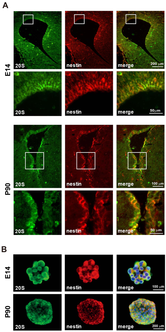 Expression of 20S proteasome in NPCs. ( A ) Representative images of coronal sections immunostained for 20S proteasome (Green) and nestin (Red) in the VZ/SVZ of E14 and the SVZ of P90 mice. Images with a higher magnification are presented. ( B ) Neurospheres from E14 and P90 mice were immunostained for 20S proteasome (Green) and nestin (Red), with nuclei counterstained by DAPI (Blue).