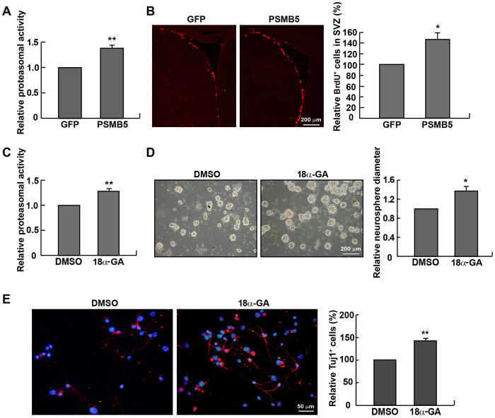 Rejuvenation of adult NPCs by up-regulating proteasomal activity. ( A ) Intraventricular injection with the recombinant PSMB5-overexpressing lentiviral particles for 7 days enhanced proteasomal activity in the SVZ of P90 mice. ( B ) PSMB5 over-expression increased BrdU + cells in the SVZ (n = 6 mice). ( C ) NPCs derived from P90 mice were incubated with 18α-GA (2 μg/mL) for 10 days, followed by the proteasomal activity assay. ( D ) NPCs formed neurospheres with a larger size in the presence of 18α-GA. ( E ) After differentiation for 5 days, NPCs treated with 18α-GA generated more Tuj1 + cells than those treated with DMSO. * p