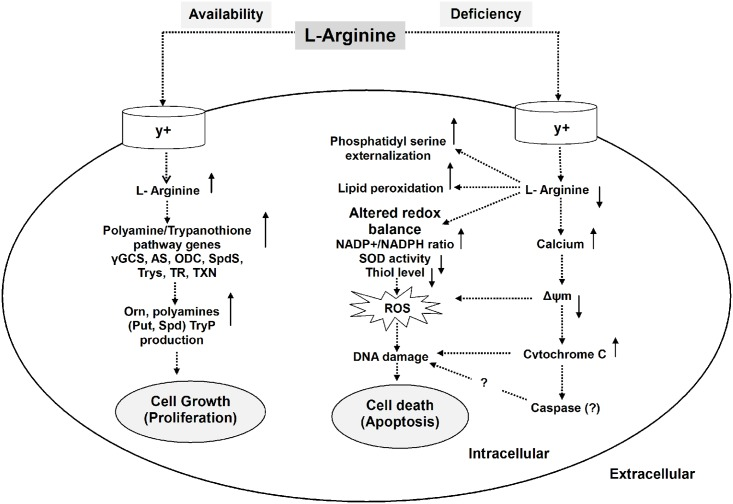 Schematic representation demonstrating the role of L-arginine in the modulation of cell proliferation or apoptosis-like cell death in Leishmania parasite. The model illustrates that the fate of Leishmania parasites depend on the availability of extracellular L-arginine. If L-arginine is available, it is taken up from the external medium by cationic L-arginine transporters (y+) and metabolized by arginase (AS) and other polyamine biosynthetic and thiol metabolic pathway enzymes such as γ-glutamylcysteine synthetase (γ-GCS), ornithine decarboxylase (ODC), spermidine synthase (SpdS), trypanothione synthetase (TryS), trypanothione reductase (TR), tryparedoxin (TXN) to produce L-ornithine (Orn), putrescine (Put), spermidine (Spd) and thiols such as trypanothione (TryP) which promotes parasite proliferation and cell growth. Whereas, if extracellular L-arginine is unavailable or deficient, cellular redox balance is altered characterized by increased NADP+/NADPH ratio, decreased antioxidant levels such as SOD activity and thiol content that led to increased ROS production. L-arginine unavailability also triggered the phenomenons like phosphatidyl serine externalization, increased lipid peroxidation and release of intracellular calcium. Calcium influx in turn causes mitochondrial membrane depolarization leading to release of cytochrome-c from mitochondrion and intracellular ROS generation that ultimately damages DNA and promotes an apoptosis-like cell death.