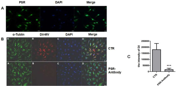 Blockage of PSR suppresses the engulfment of MSC-MVs by HUVECs. (A) PSR expression on the HUVECs was detected with confocal microscopy analysis. PSR: green; DAPI: the nuclear (blue); Bar: 20μm. (B) HUVECs were pre-treated with anti-PSR antibody and cultured in the presence of DiI-labeled MSC-MVs. Twelve hours later, the cells were fixed and observed under a confocal microscope. CTR: HUVEC with DiI-MV; PSR-Antibody: HUVEC+PSR-Antibody with DiI-MV; Bar: 20μm. (C) Blockage of PSR with a specific antibody greatly decreased the internalization of MVs into HUVECs ( vs .CTR *** P