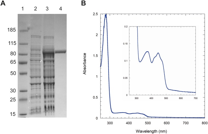 Coq6p biochemical characterization. A) SDS PAGE (4–12% Bis-Tris, MOPS). Lane 1, Molecular Weights (kDa); lane 2, BL21 DE3 cells transformed with pMALc2X-Coq6 before IPTG induction; lane 3, cells after 20 hr-IPTG induction at 18°C; lane 4, Coq6p-MBP (96.3 kDa) after a two-step purification (MBP trap, Superdex200 26/60). B) UV-visible spectrum of purified Coq6p-MBP, 1.20 mg/ml.