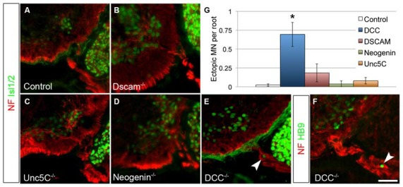 DCC is required to prevent ectopic motor neuron migration.  A series of netrin receptor mutant embryos were analyzed at E13.5 for ectopic MNs in the rostral half of the spinal cord. As in controls ( A ,  n  = 3), ectopias were not observed in  Dscam  ( B ,  n  = 3),  Unc5C  ( C ,  n  = 3), or  Neogenin  ( D ,  n  = 2) mutants. There were, however, ectopic MNs in  DCC  mutants ( n  = 4) positive both for Islet 1/2  (E)  and HB9  (F) . Quantified in  (G) . Scale bar in  (F)  is 50 μm. *indicates  P