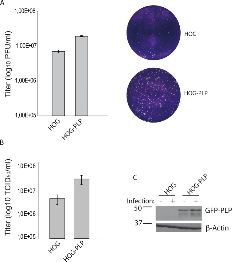Effect of PLP overexpression on HSV-1 infection. HOG and HOG-PLP cells were infected with HSV-1. PLP-transfected HOG cells showed higher susceptibility to HSV-1 than mock-transfected cells (A and B). A. Plaque assay showed an increase in the number of plaque forming units (p.f.u.) per ml in PLP-transfected cells compared to mock-transfected control cells. Two representative wells are also shown. The average plaque size of infected HOG-PLP cells is slightly larger than that of plaques in HOG cells. B. Cells were infected at a m.o.i. of 0.1 with HSV-1, and viral titers were determined 20 h p.i. by TCID 50 . Virus yield was significantly increased in PLP-transfected cells. The increment on viral yield correlated with the presence of PLP-EGFP, as shown by immunoblotting (C) with an anti-GFP antibody. C. HOG and HOG-PLP cells were infected with HSV-1 at an m.o.i. of 0,1. After 24 h p.i., equal number of cells were subjected to SDS–PAGE and analyzed by immunoblotting with a rabbit polyclonal anti-GFP antibody.